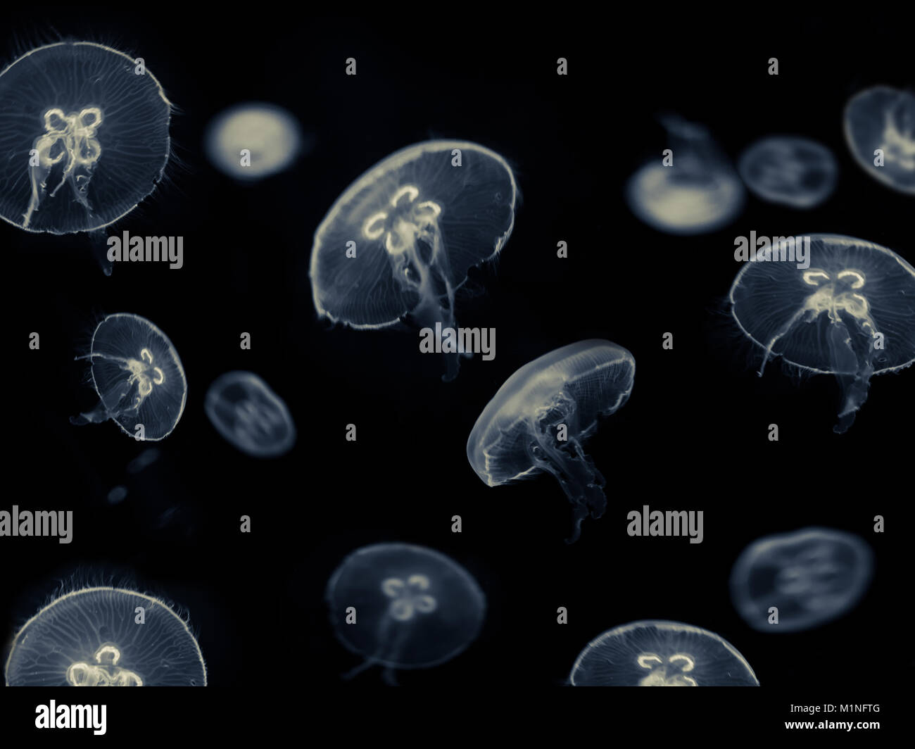 many white jellyfish on black background - jellyfish - Stock Image