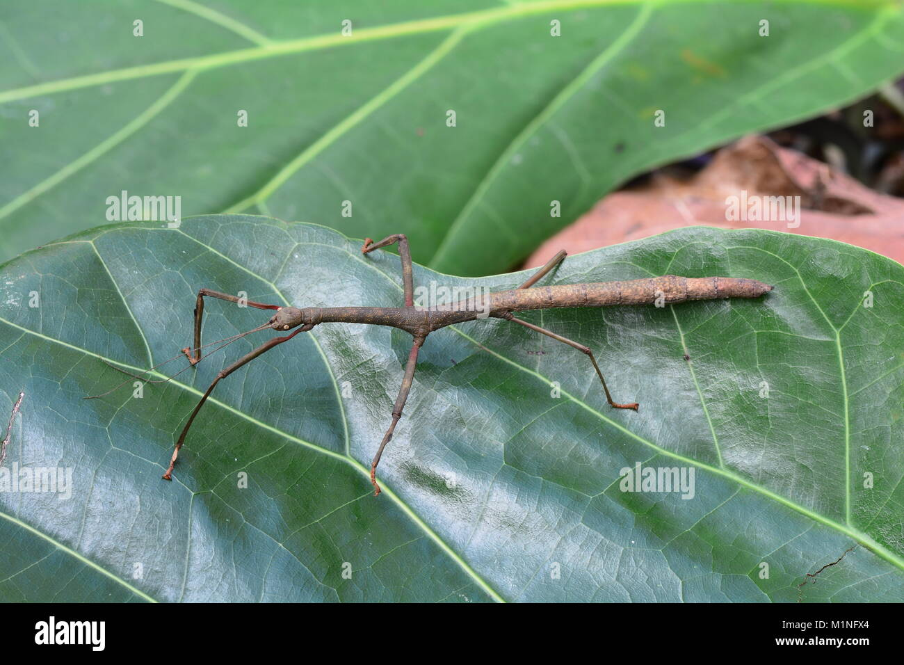A stick bug sits on a plant leaf in the gardens - Stock Image