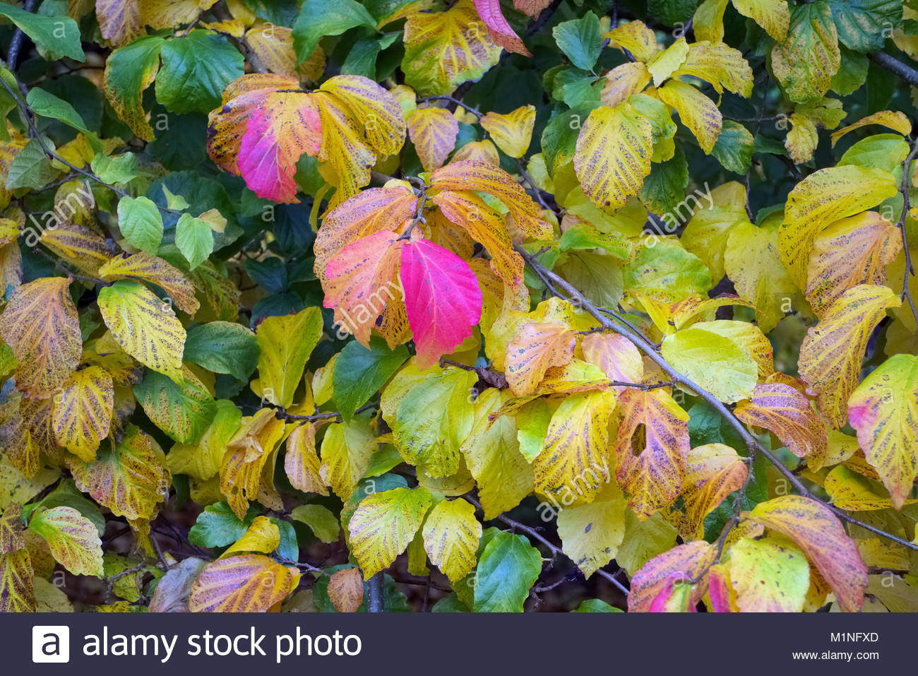 Parrotia persica \'Pendula\' autumn fall leaf colour Stock Photo ...