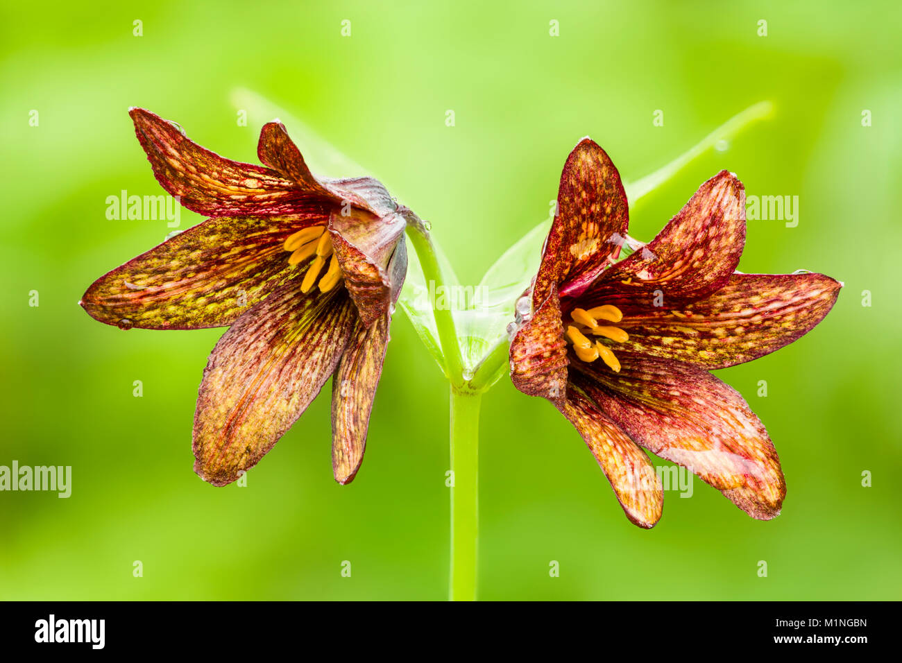 Focus stacking composite of closeup of Chocolate Lily in Arctic Valley in Southcentral Alaska. - Stock Image