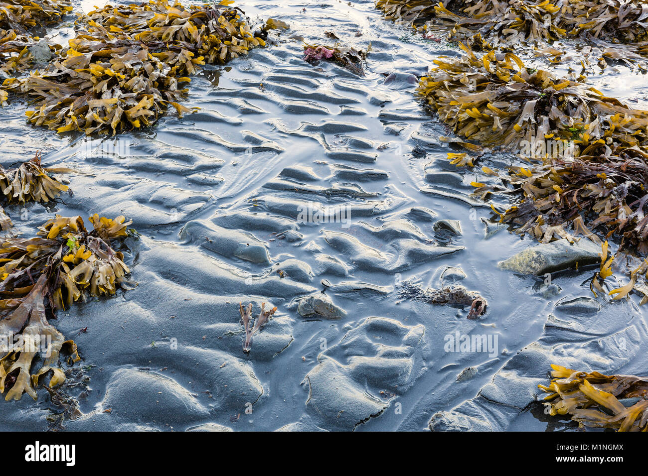 Focus stacking composite of Rockweed and ripples of silt during low tide in Resurrection Bay at Lowell Point near - Stock Image