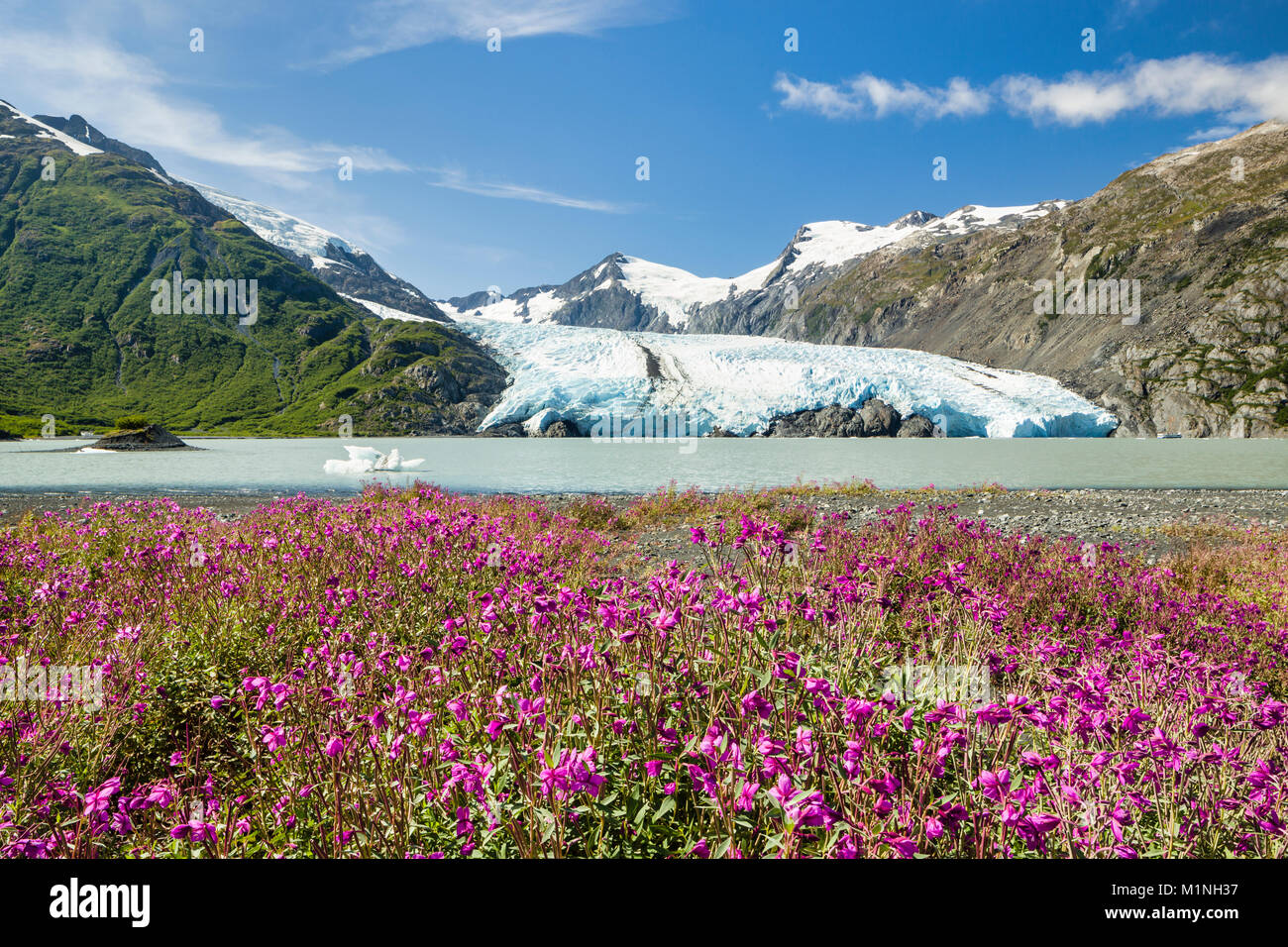 Dwarf Fireweed lines the shore of Portage Lake with Portage Glacier in the background in the Chugach National Forest - Stock Image