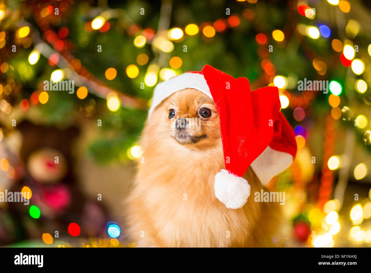A dog of the Spitz breed of red color in a red cap near the Christmas tree with garlands - Stock Image