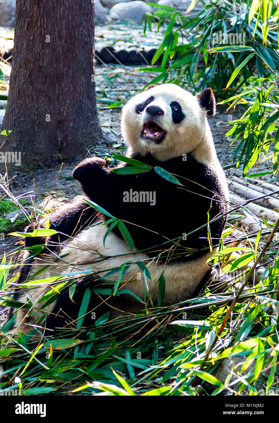 Panda is not amused by photographers at Chengdu Research Base of Giant Panda Breeding in China 2 - Stock Image