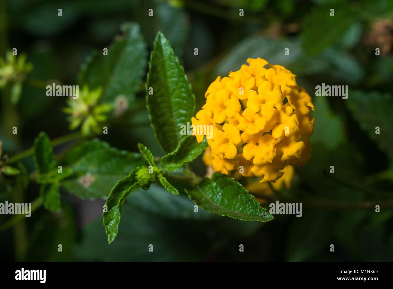 Lantana camara plant showing orange yellow flowers and leaves, Nairobi, Kenya, East Africa Stock Photo