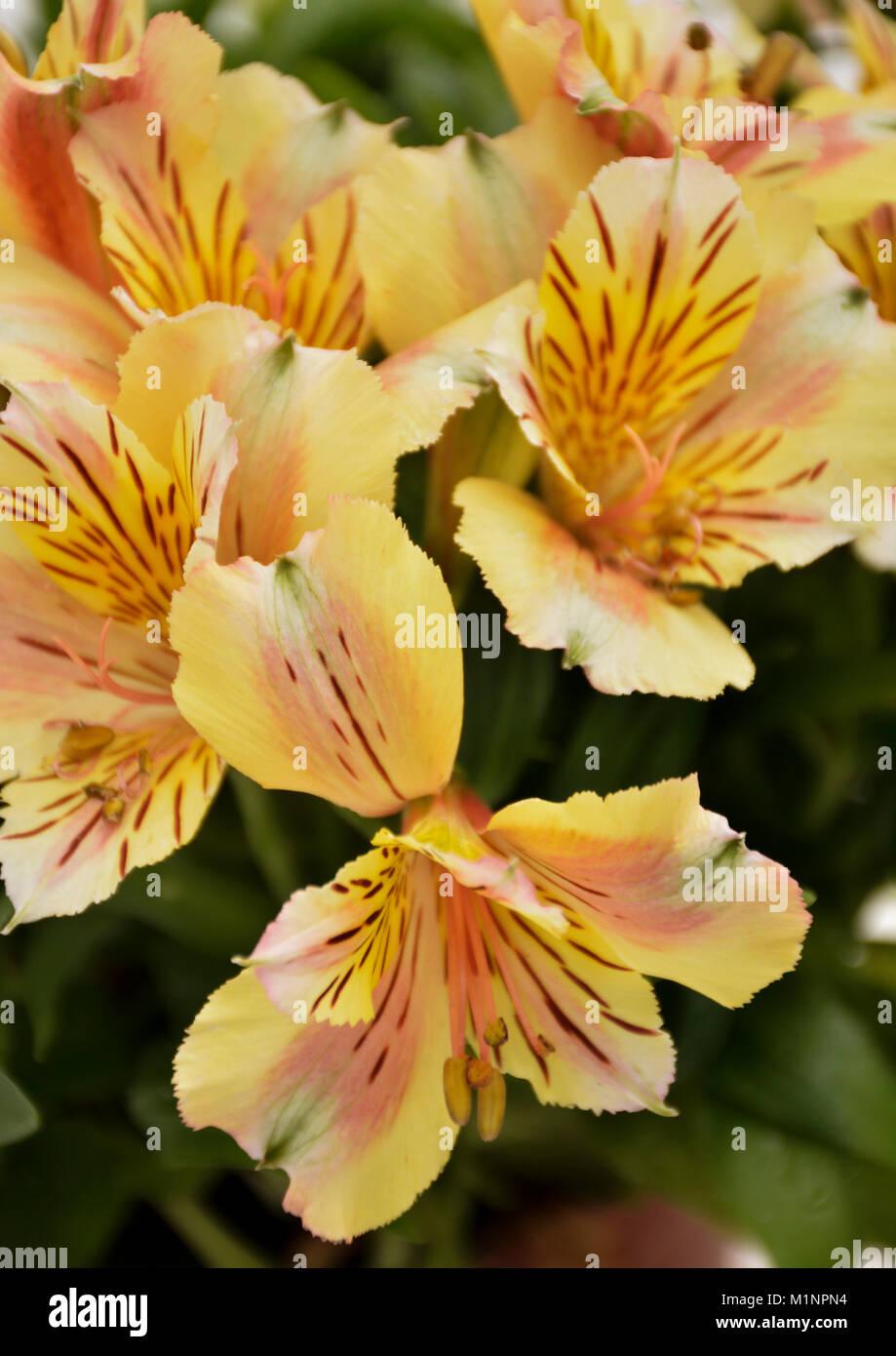 Alstroemeria Princess Lily 8 Stock Photo 173197168 Alamy