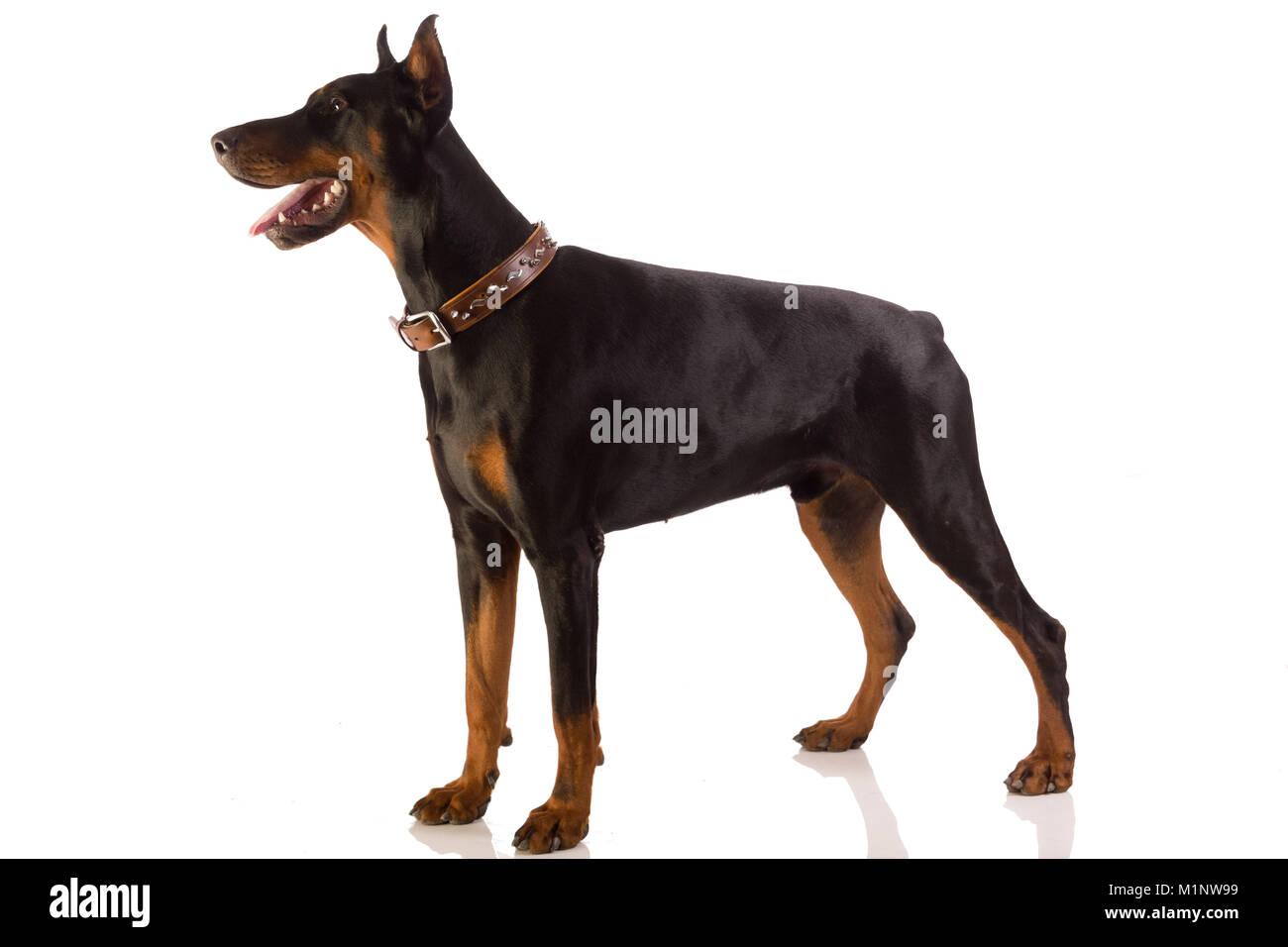 Great doberman dog on white background - Stock Image
