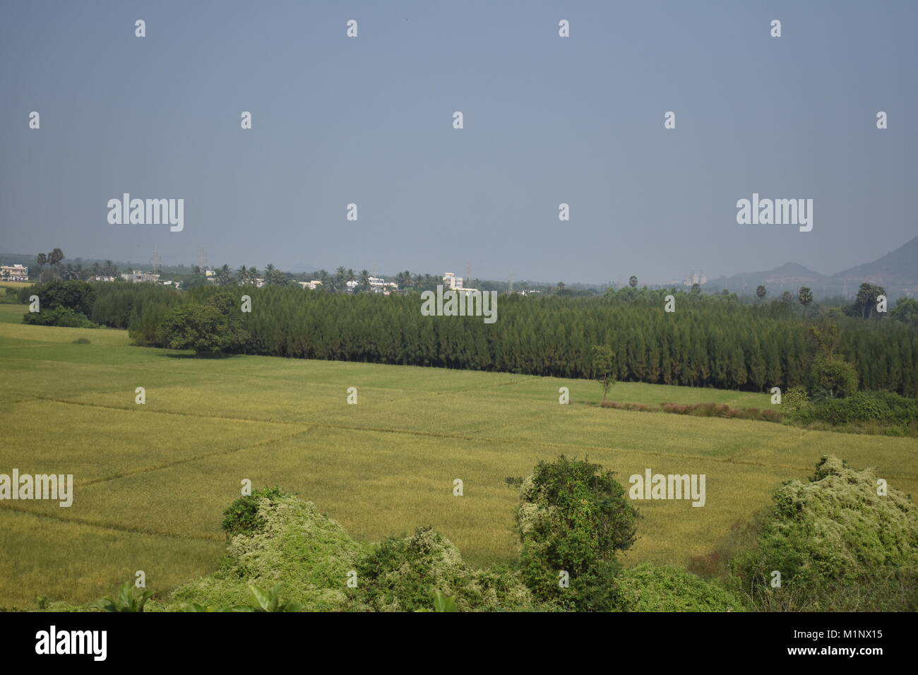Beautiful Paddy crop looking awesome with casuarina trees. - Stock Image