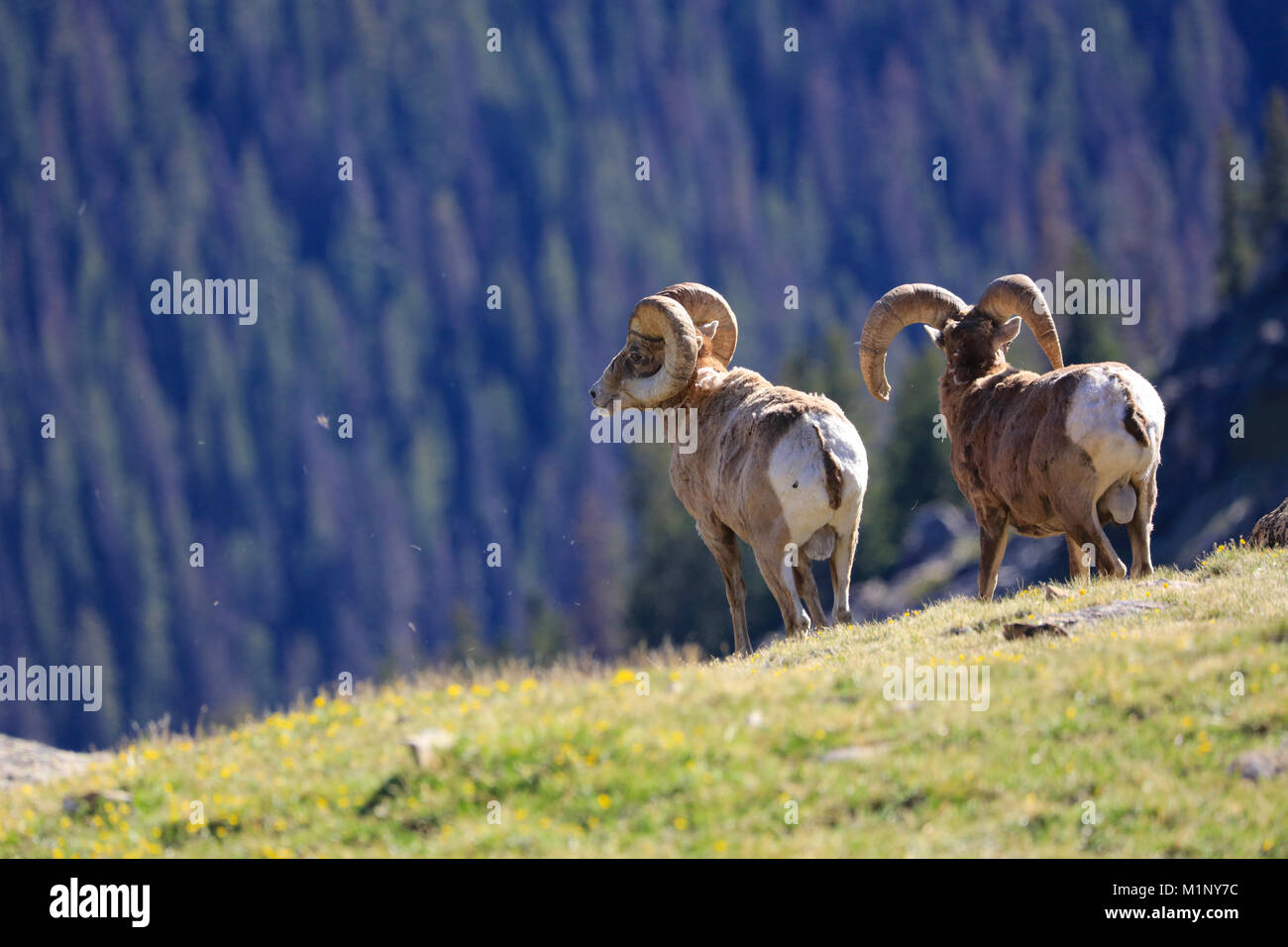 Two big horn sheep on alpine tundra in Rocky Mountain National Park, Colorado - Stock Image