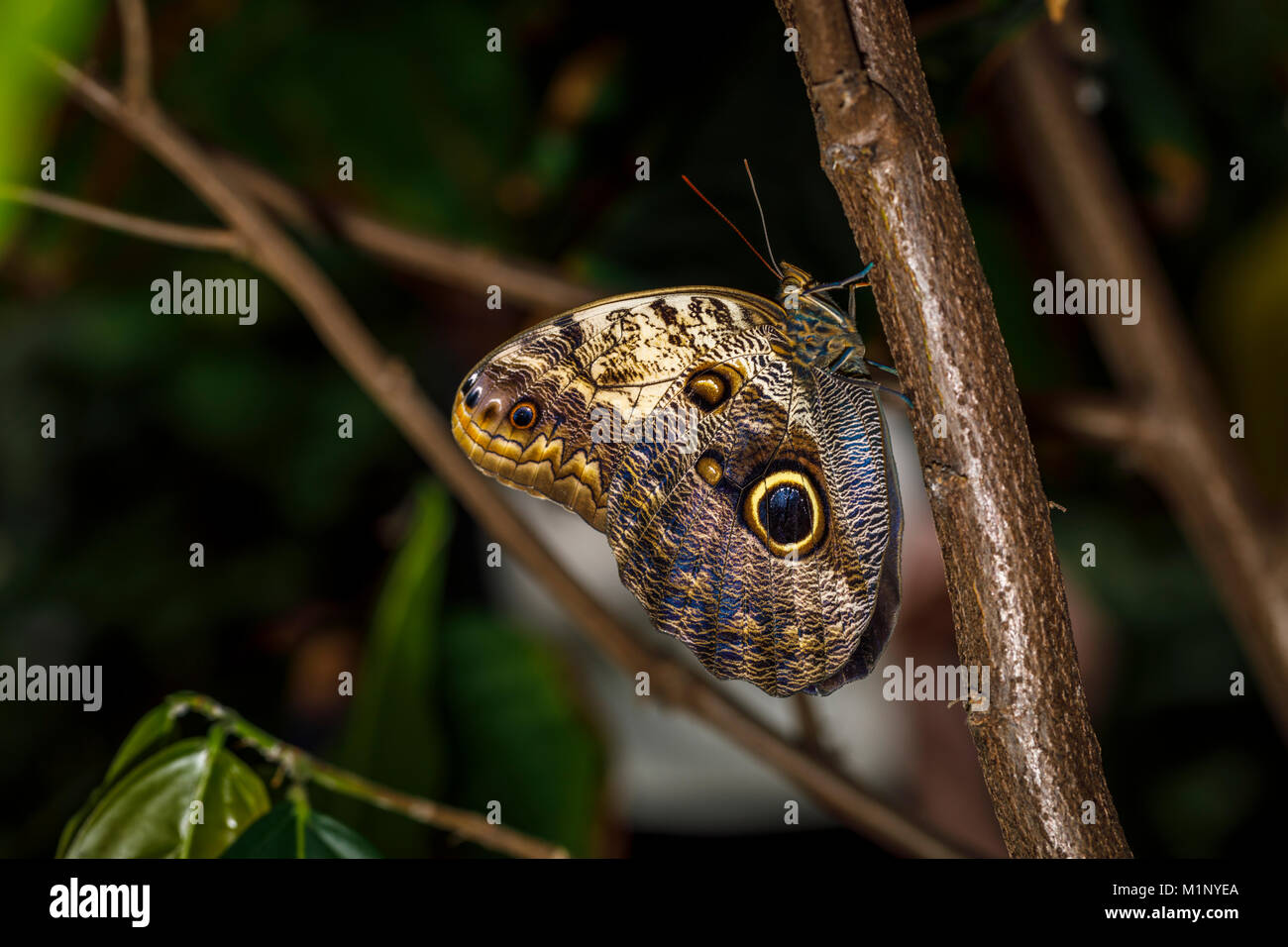 Owl butterfly (Caligo memnon) at rest with wings closed showing fake eye mimicry markings, RHS Wisley annual butterfly - Stock Image