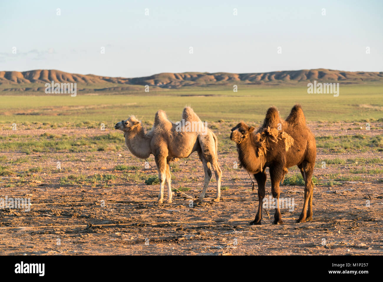 Two camels in Gobi desert, Ulziit, Middle Gobi province, Mongolia, Central Asia, Asia - Stock Image