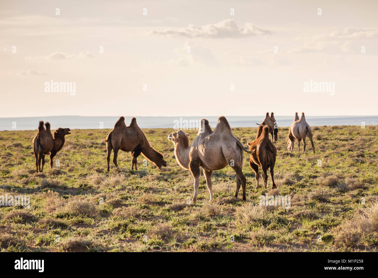 Camels grazing, Ulziit, Middle Gobi province, Mongolia, Central Asia, Asia - Stock Image