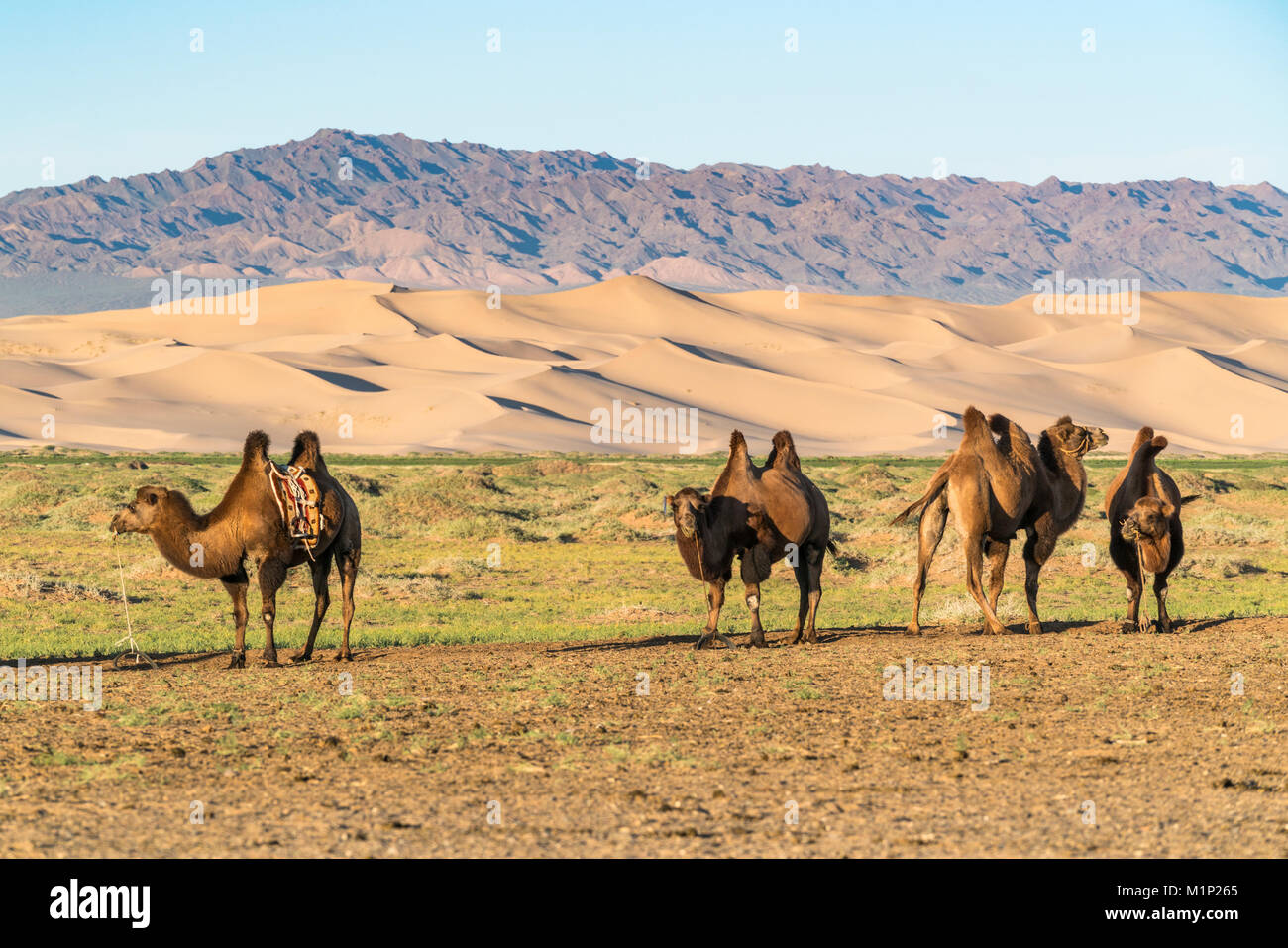 Camels and sand dunes of Gobi desert in the background, Sevrei district, South Gobi province, Mongolia, Central - Stock Image