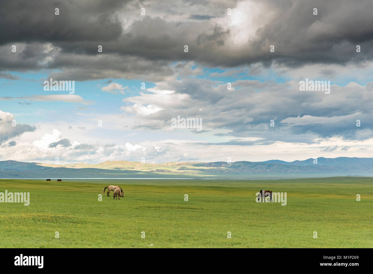 Horses grazing on the Mongolian steppe under a cloudy sky, South Hangay, Mongolia, Central Asia, Asia - Stock Image
