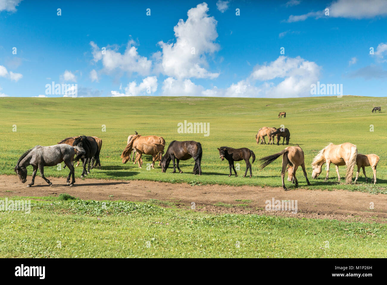 Horses grazing on the Mongolian steppe, South Hangay, Mongolia, Central Asia, Asia - Stock Image