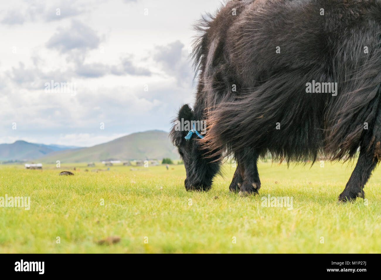 Yak grazing, Orkhon valley, South Hangay province, Mongolia, Central Asia, Asia - Stock Image