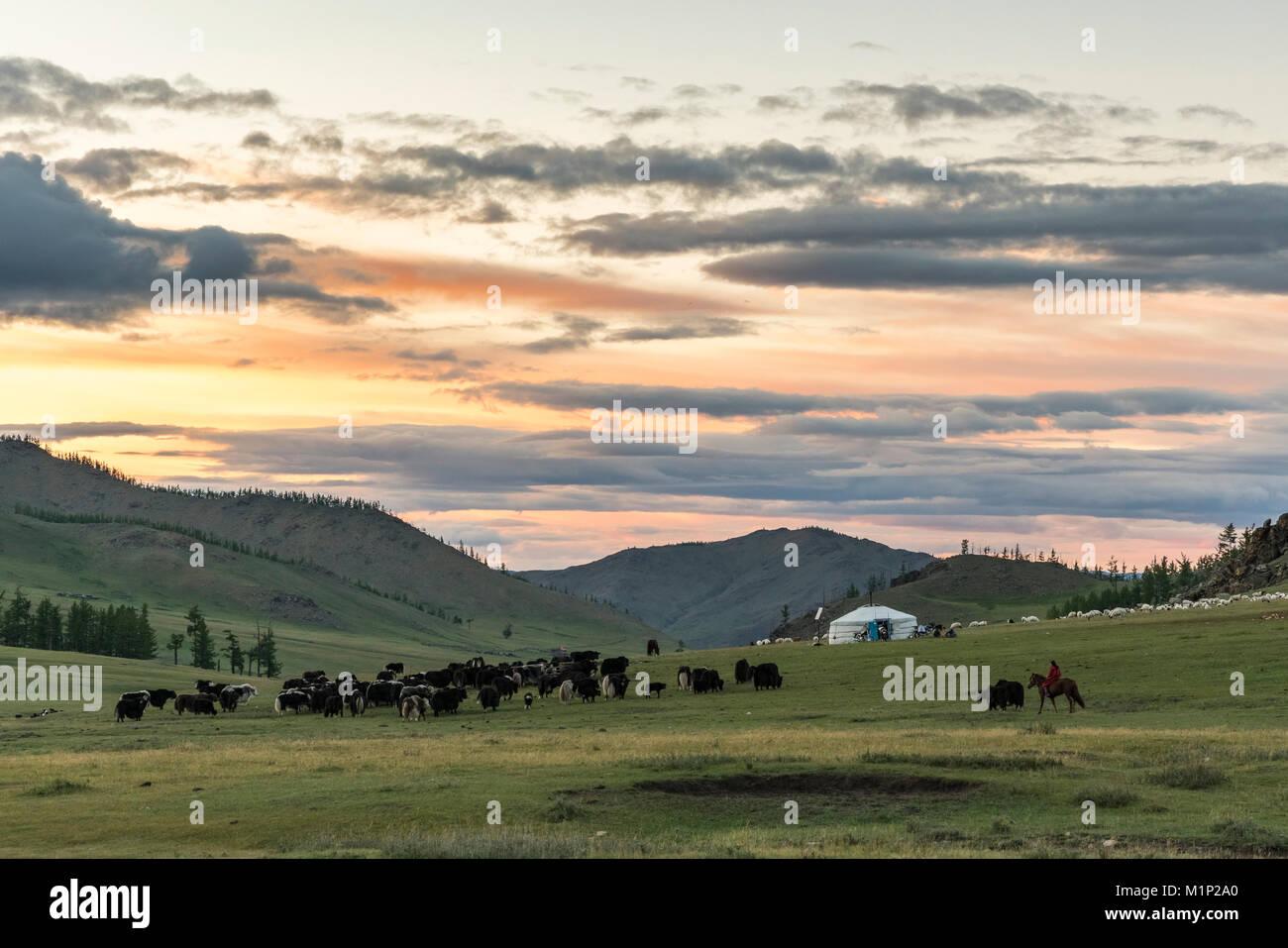 Shepherd on horse rounding up yaks at sunset, Burentogtokh district, Hovsgol province, Mongolia, Central Asia, Asia - Stock Image