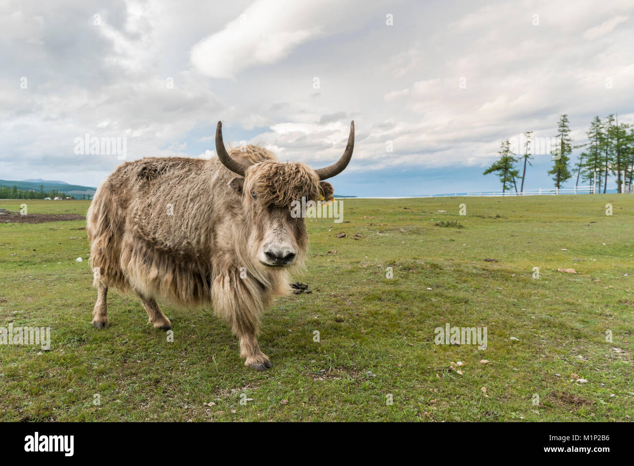 Yak on the shores of Hovsgol Lake, Hovsgol province, Mongolia, Central Asia, Asia - Stock Image