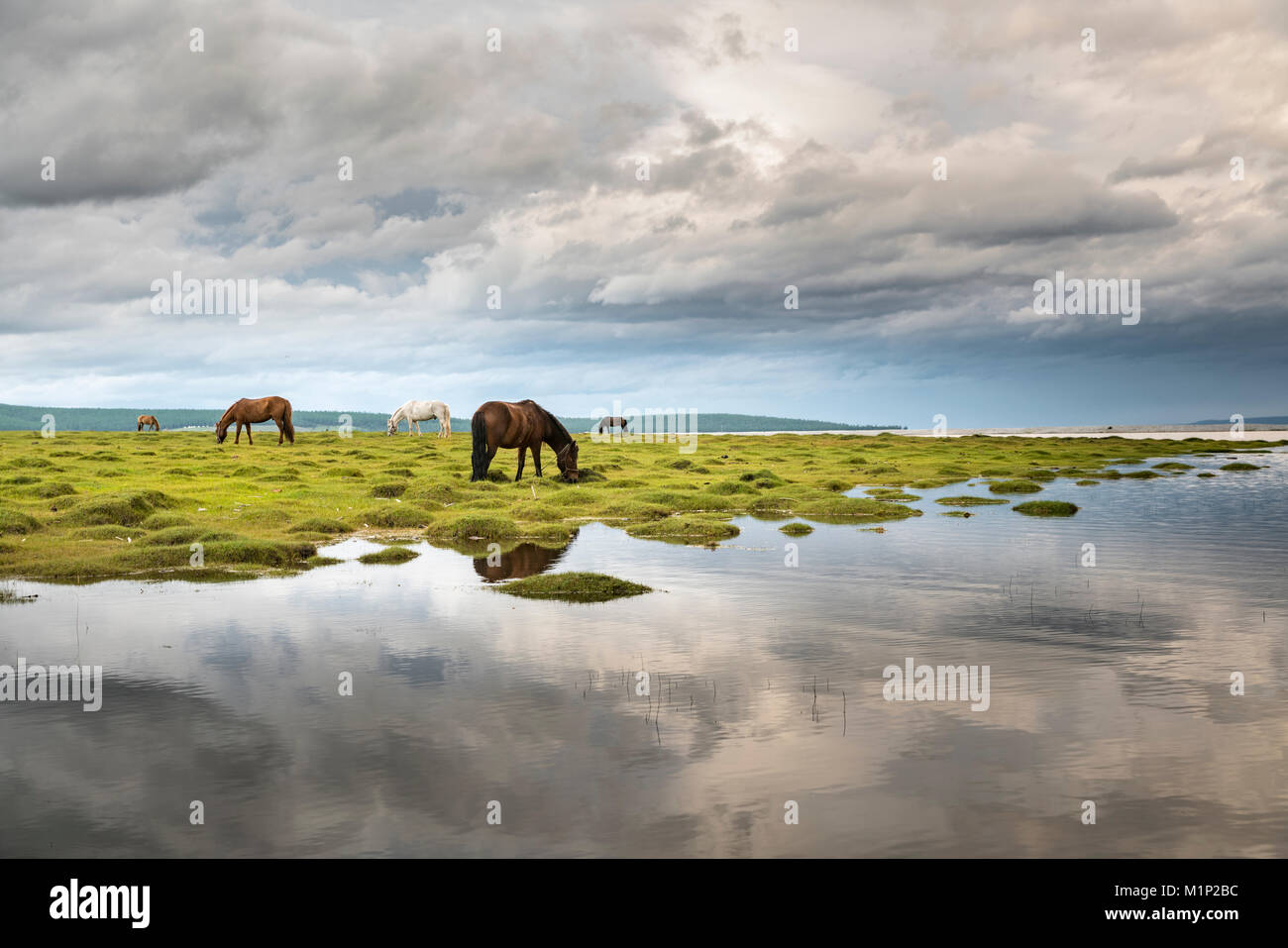 Horses grazing on the shores of Hovsgol Lake, Hovsgol province, Mongolia, Central Asia, Asia - Stock Image