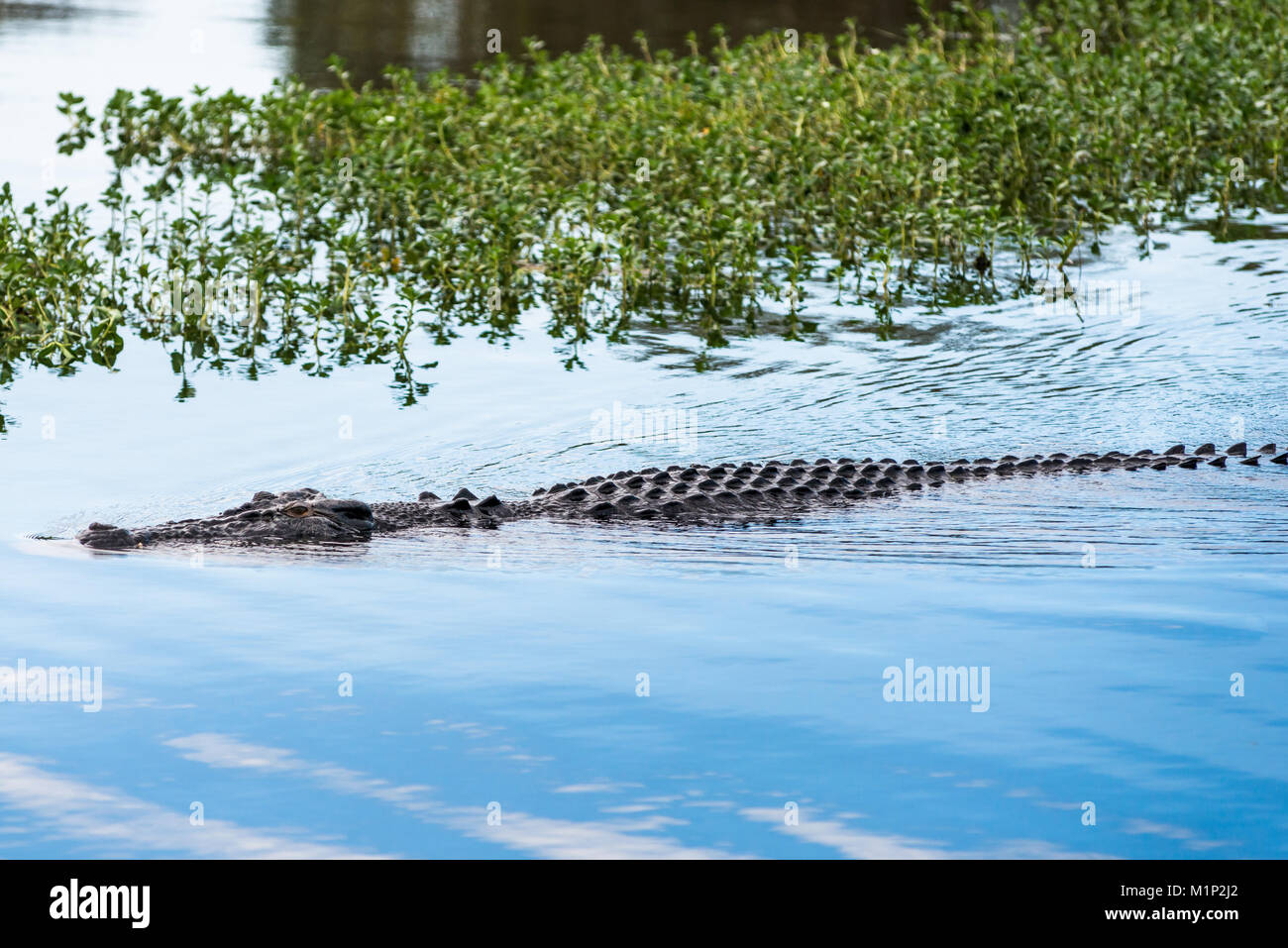 Saltwater crocodile in Yellow Water billabong and wetland, Kakadu National Park, Northern Territory, Australia, - Stock Image