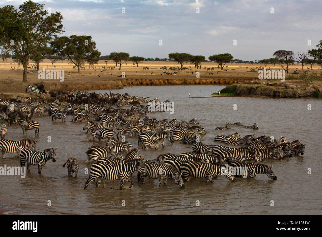 Herd of zebras (Equus quagga) drinking water, Serengeti National Park, Tanzania, East Africa, Africa - Stock Image