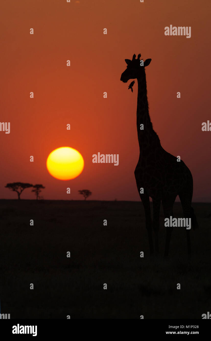 Silhouette of giraffe (Giraffa camelopardalis) at sunset, Serengeti National Park, Tanzania, East Africa, Africa - Stock Image