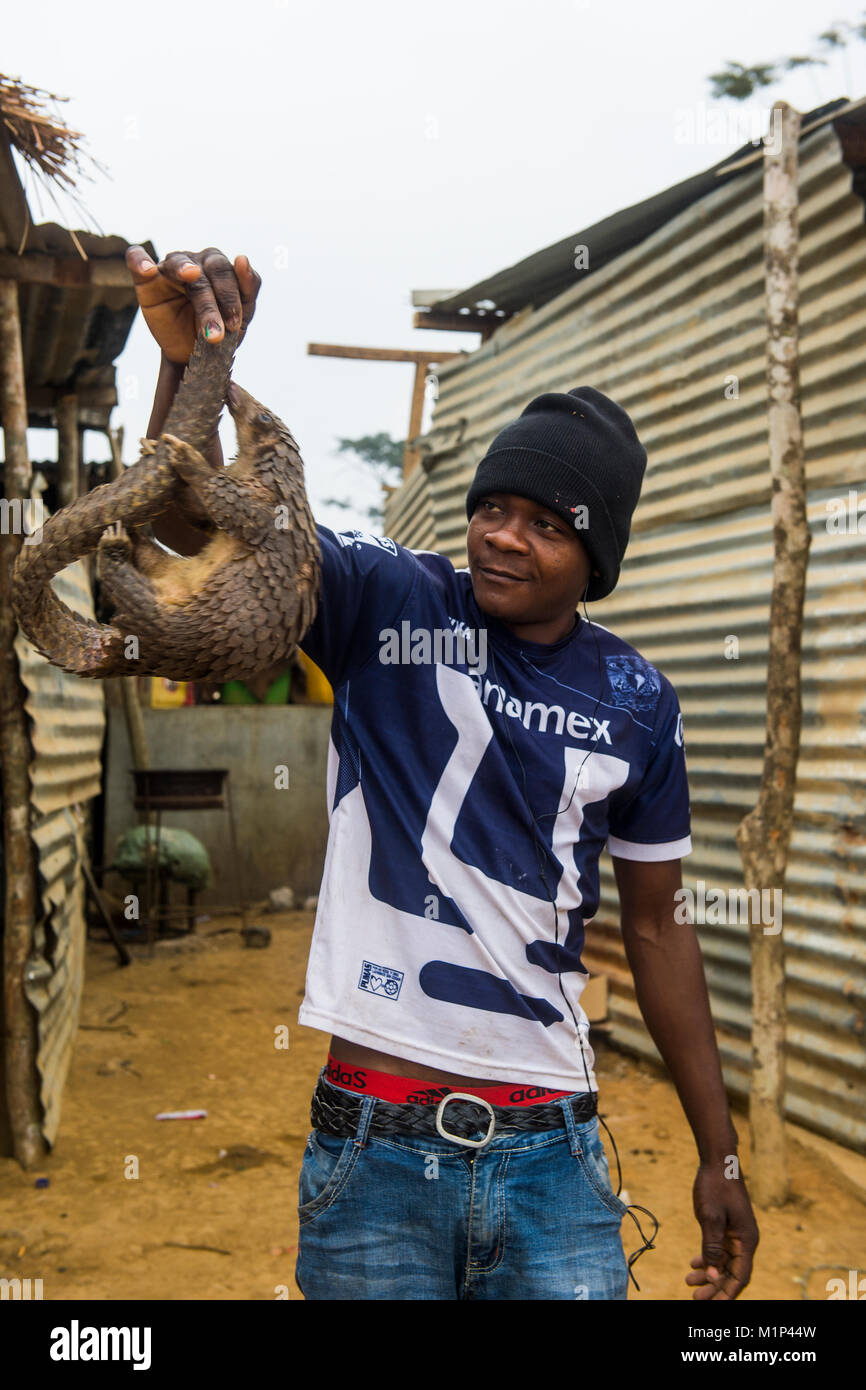 Pangolin (Pholidota) captured and for sale along a highway in Kwanza Norte, Angola, Africa - Stock Image