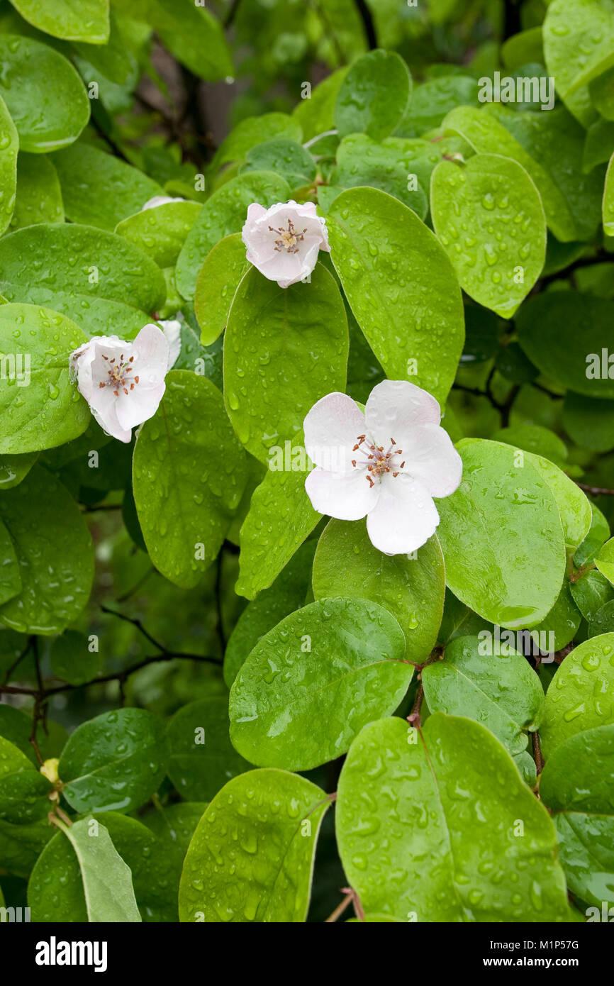 Echte Quitte, Blüten, Cydonia oblonga, Quince, Cognassier Stock Photo