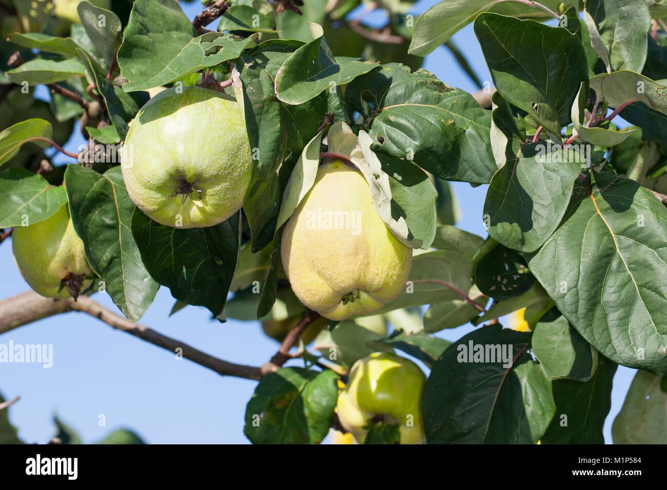 Echte Quitte, Frucht, Früchte, Cydonia oblonga, Quince, fruit, Cognassier Stock Photo