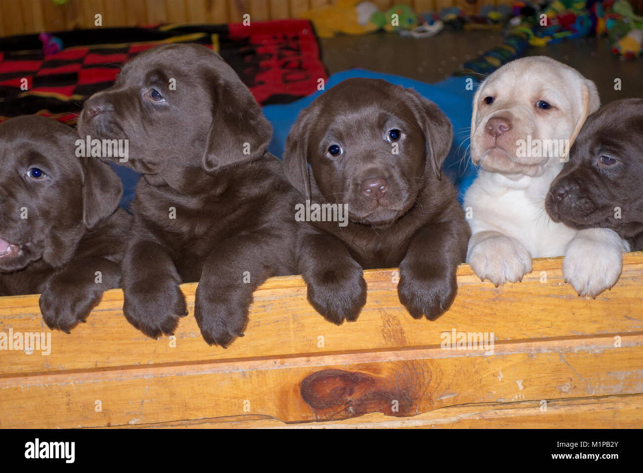 Five Cute Six Week Old Labrador Puppies Looking Over A Wall Stock Photo Alamy