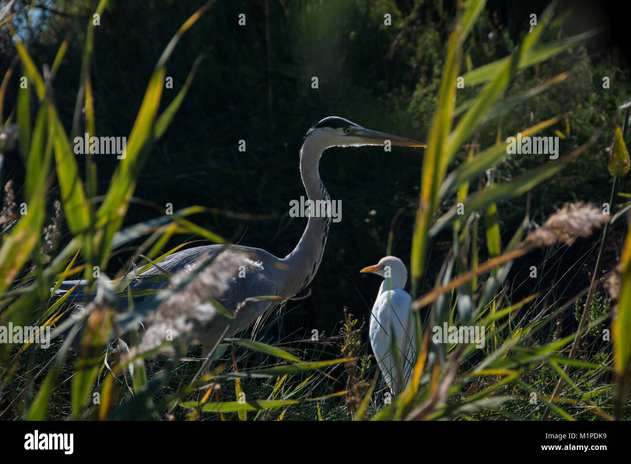 Gray heron and Western cattle egret in the Pont de Gau Ornithological Park of the Camargue Stock Photo