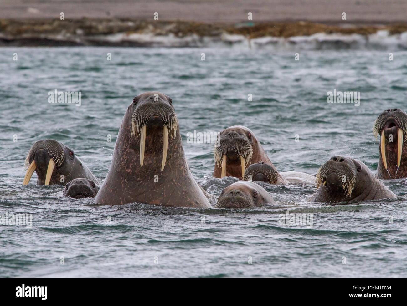 walruses in archipelago of Svalbard - Stock Image