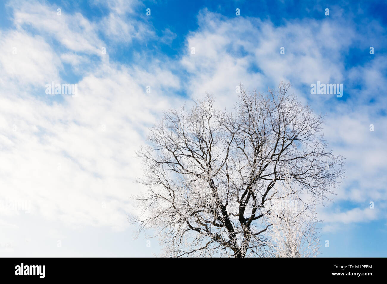 Oak tree without leaves in winter covered with frost against a blue sky with clouds Stock Photo