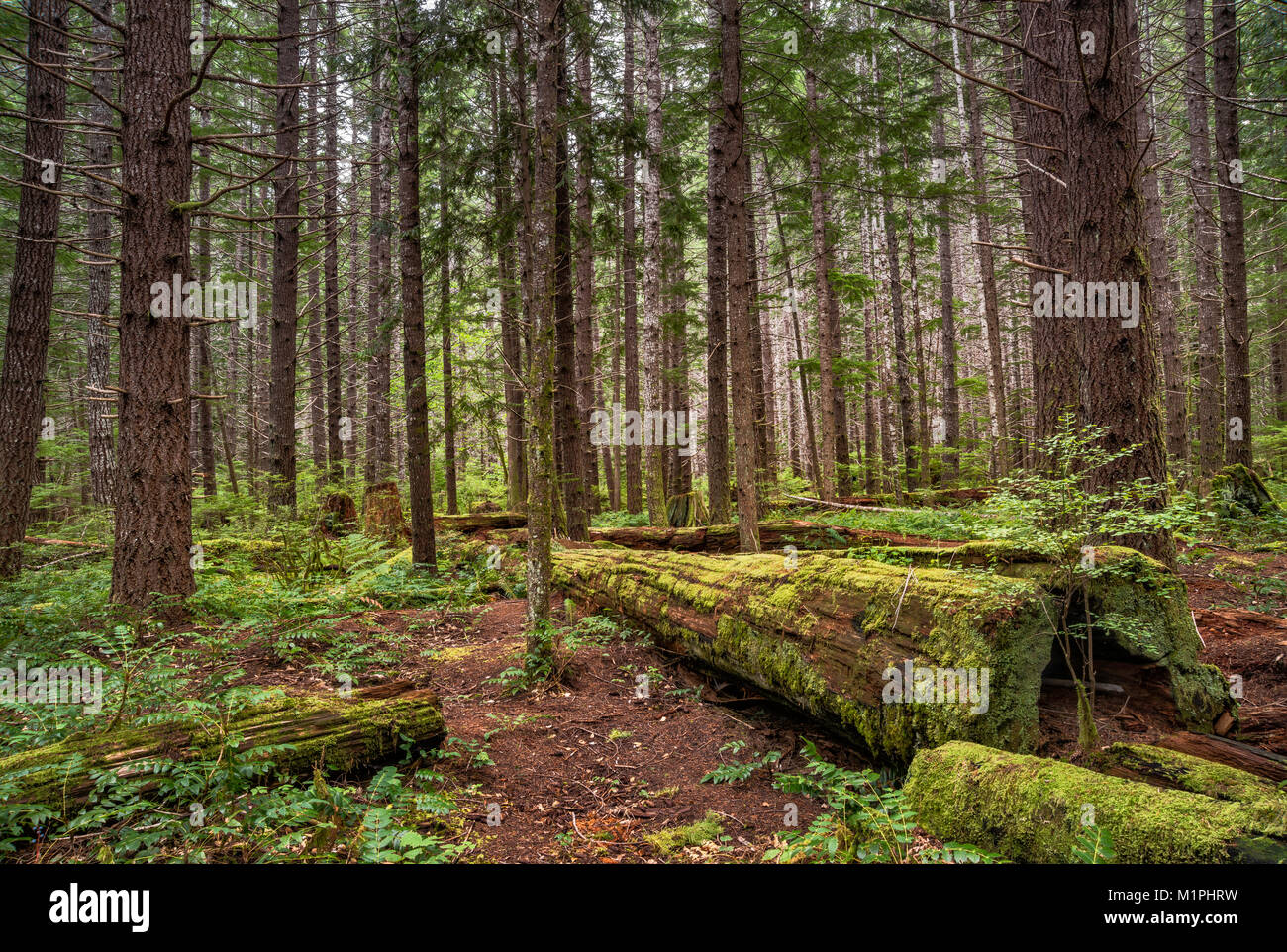 Temperate rain forest around Buttle Lake campground in Strathcona Provincial Park, Vancouver Island, British Columbia, Stock Photo