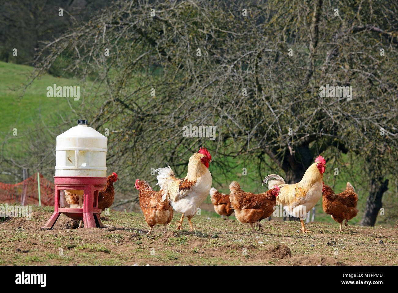 Chickens in free-range farming with discharge in a meadow
