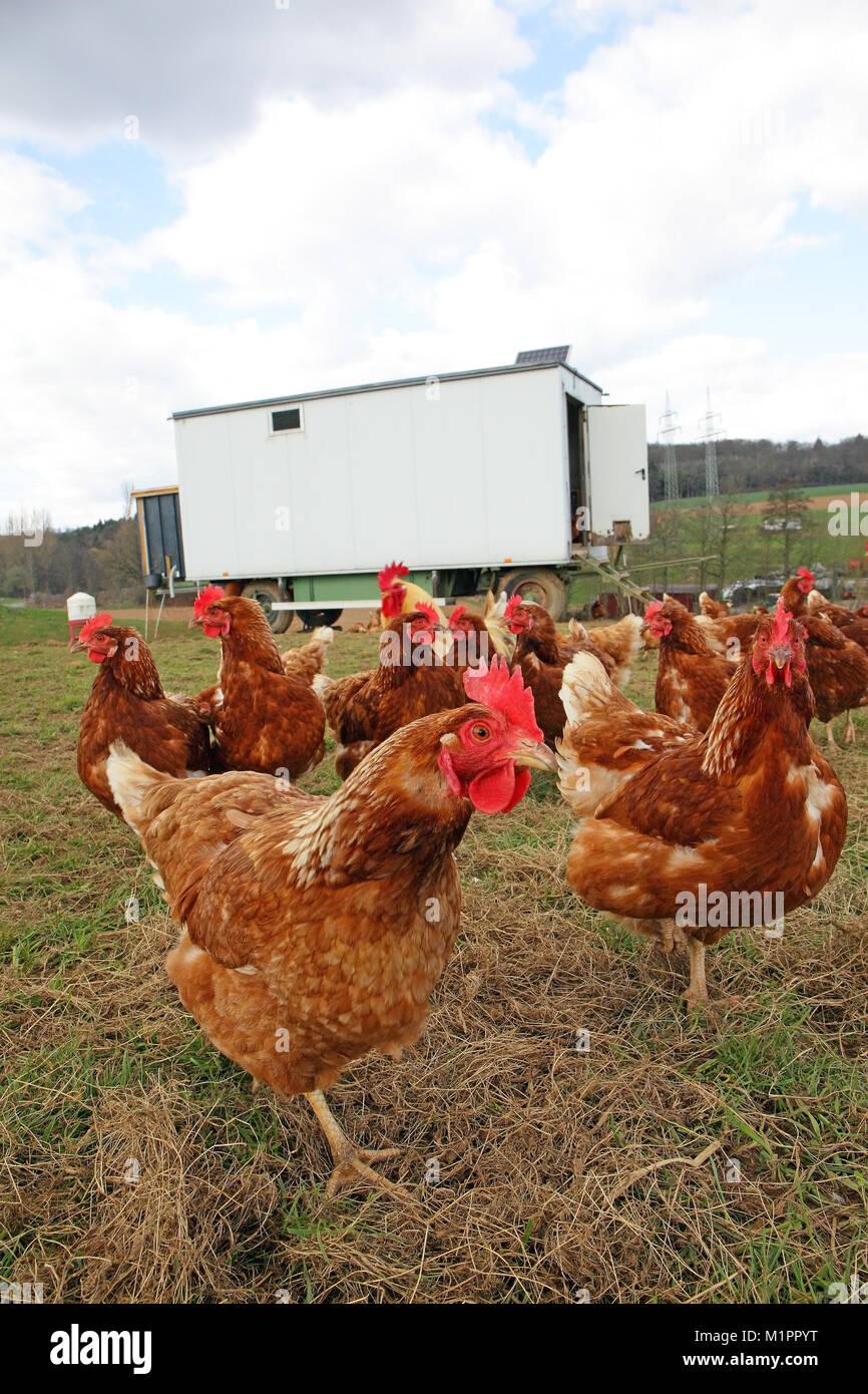 Chickens in free-range farming with discharge in a meadow. In the background is a mobile chicken house., Hühner in Freilandhaltung mit Auslauf auf ein Stock Photo