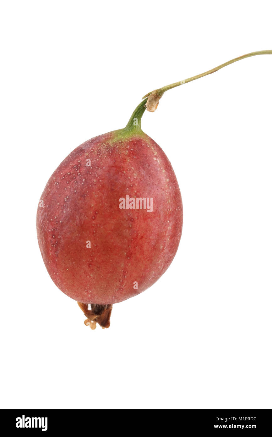 Red gooseberry, free plates, Rote Stachelbeere, Freisteller - Stock Image