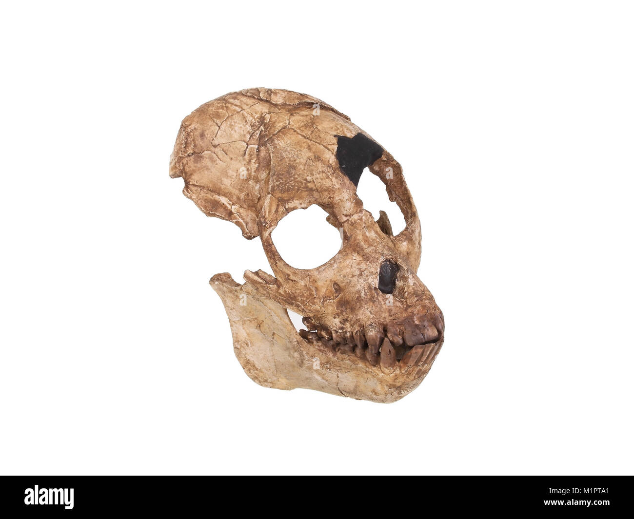 Tribal history of mankind, evolution of human, family tree of the human skull replica of Sahel Anthrop Opus tchad - Stock Image