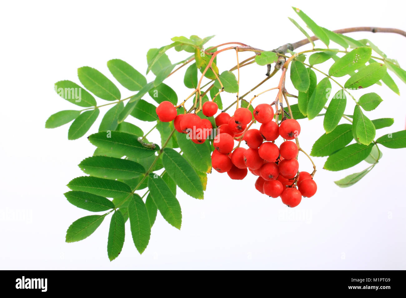 Rowan Sorbus aucuparia, berry fruits of the birds or free plates., Früchte der Vogelbeere oder Eberesche Sorbus Stock Photo