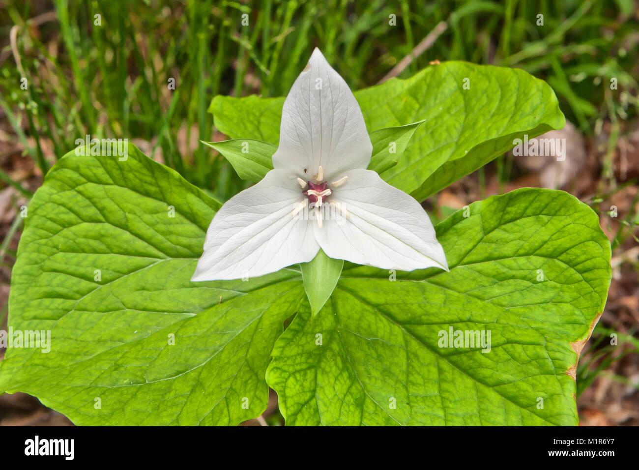 Jeweled Wakerobin (Trillium simile) - Stock Image