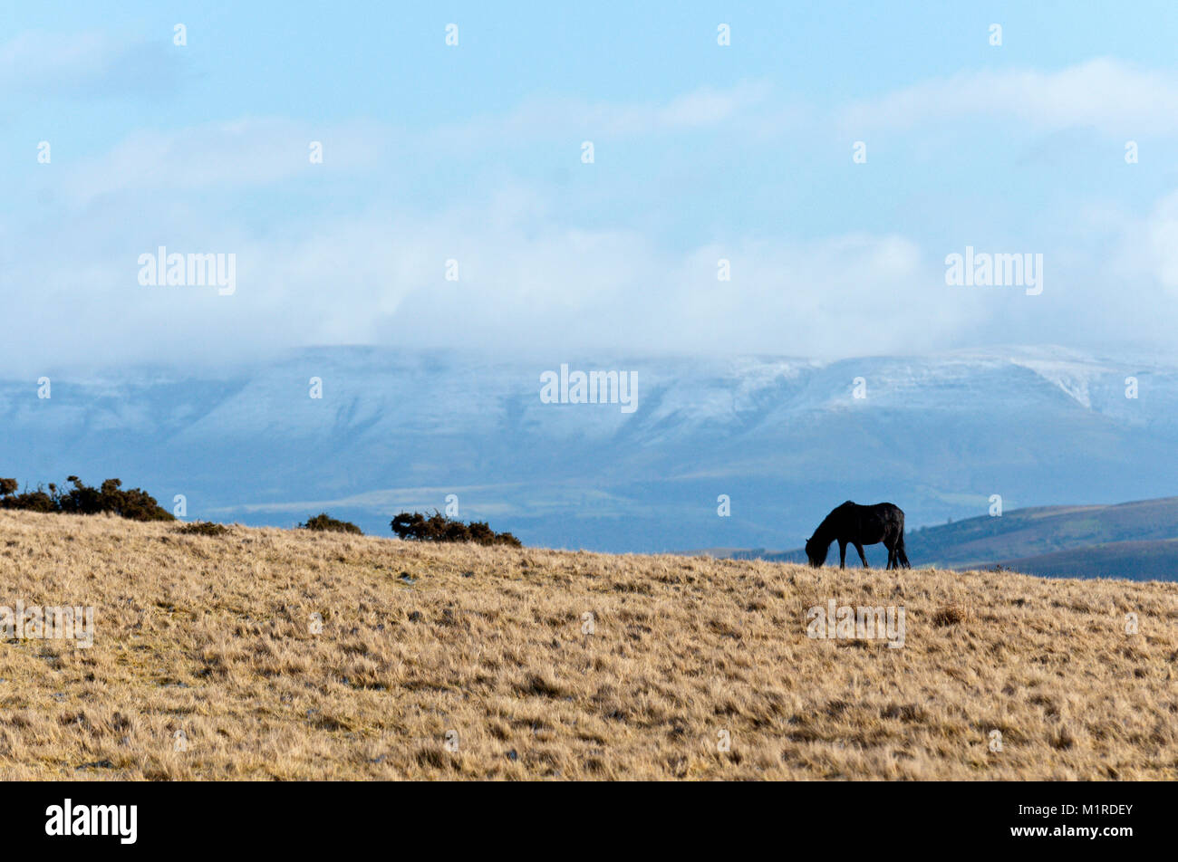 Builth Wells, Powys, UK. 1st February 2018. Light snowfall and bitterly cold North Westerly winds on high land in - Stock Image