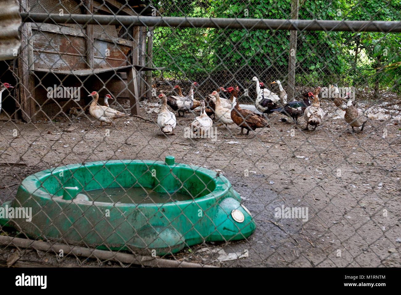 Muscovy duck (Cairina moschata), in a dirt floor, chain-link pen on a subsistence farm, northwest Georgia. The ducks - Stock Image
