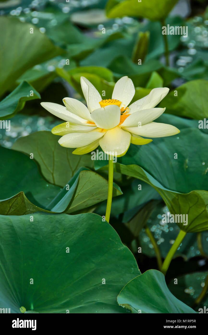 American Lotus Nelumbo Lutea Flower Stock Photos American Lotus
