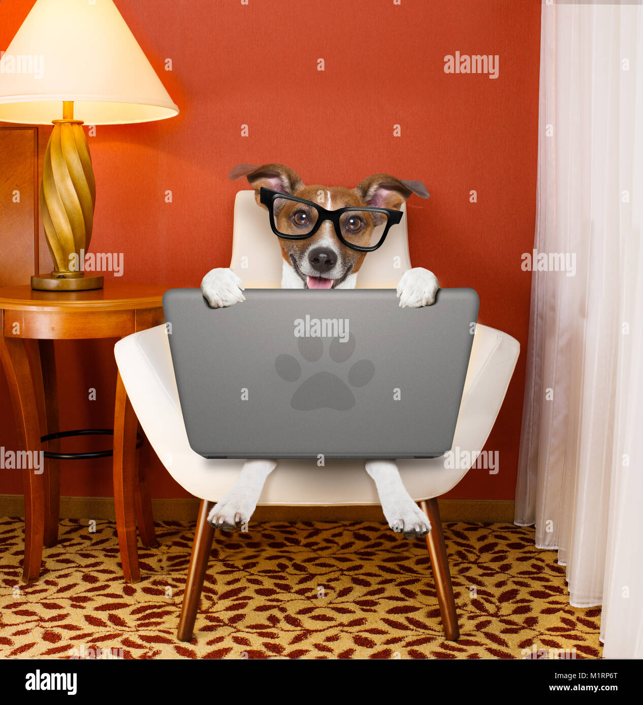 jack ruussel dog browsing the internet or searching the net  with laptop pc computer , on a chair at home , with - Stock Image