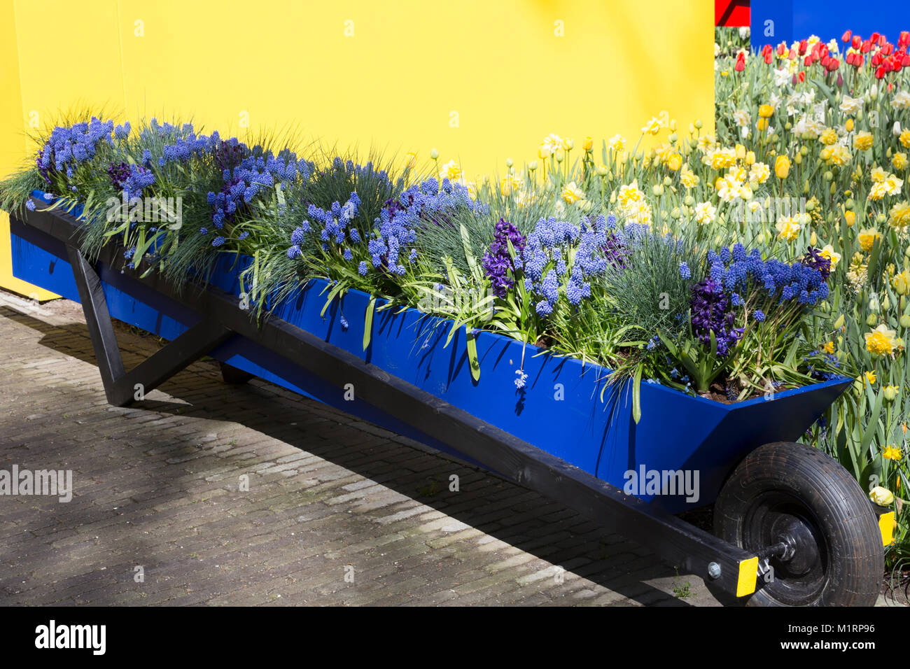 Blue and yellow display of spring flowers at Keukenhof Gardens Stock Photo