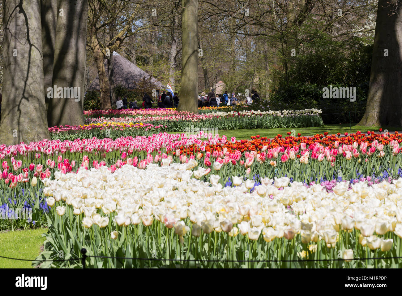 Red And Yellow Tulips In Mass Plantings Stock Photo 173240866 Alamy