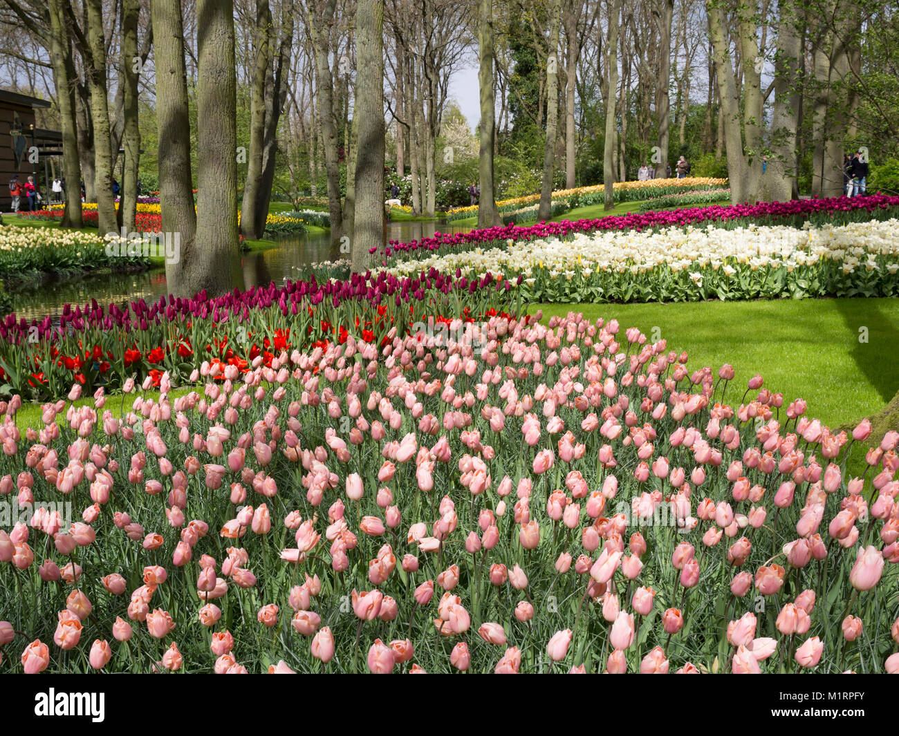 Tulips In Mass Plantings Sweep Down To The Canal At Keukenhof