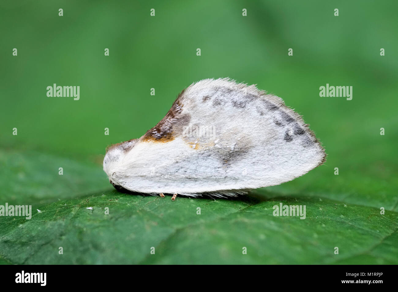 Chinese character moth camouflaged as a bird dropping in full view on leaf -  Cilix glaucata - Stock Image