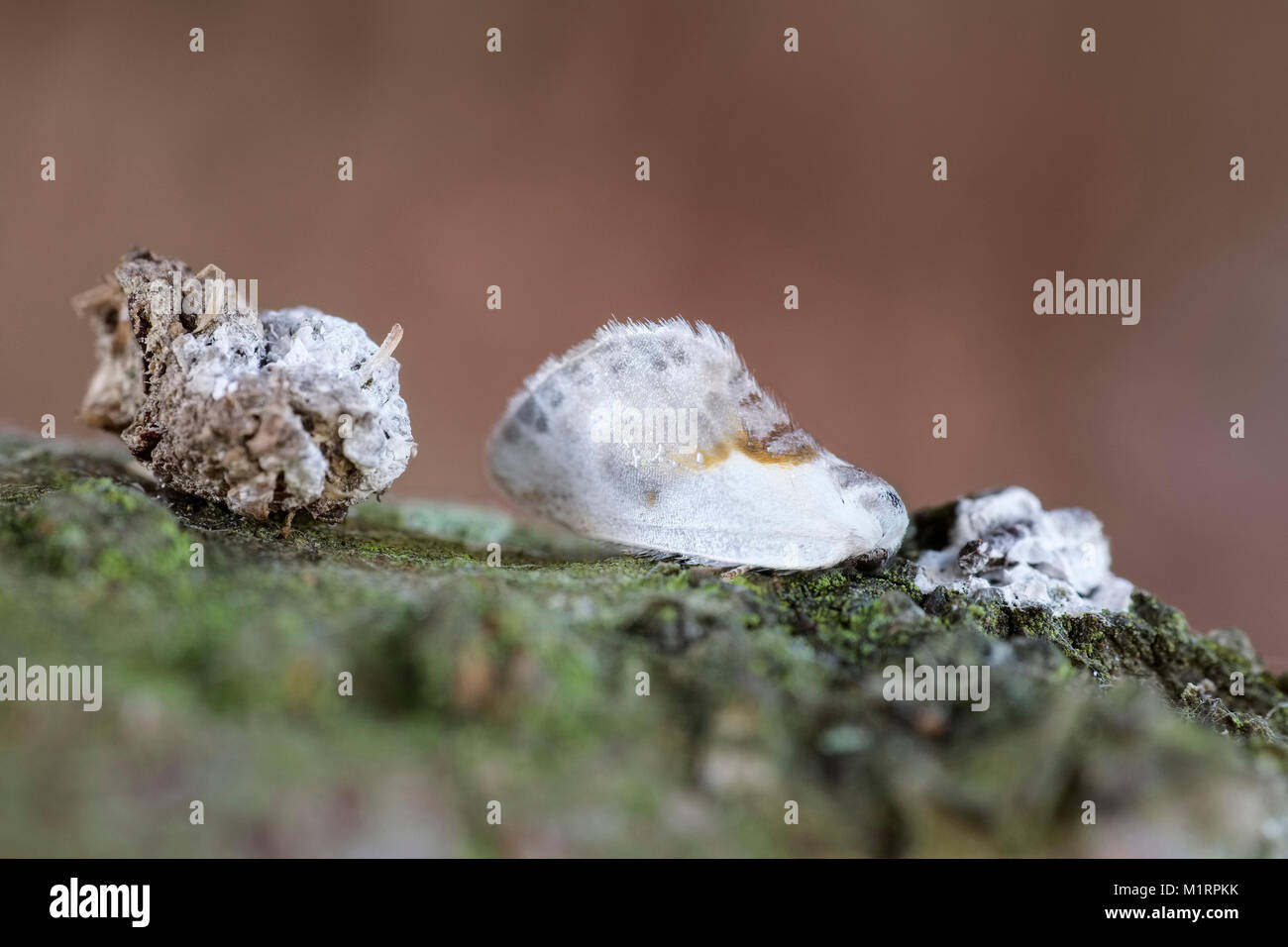 Chinese character moth resting next to bird droppings showing  camouflage or mimicry - Cilix glaucata - Stock Image