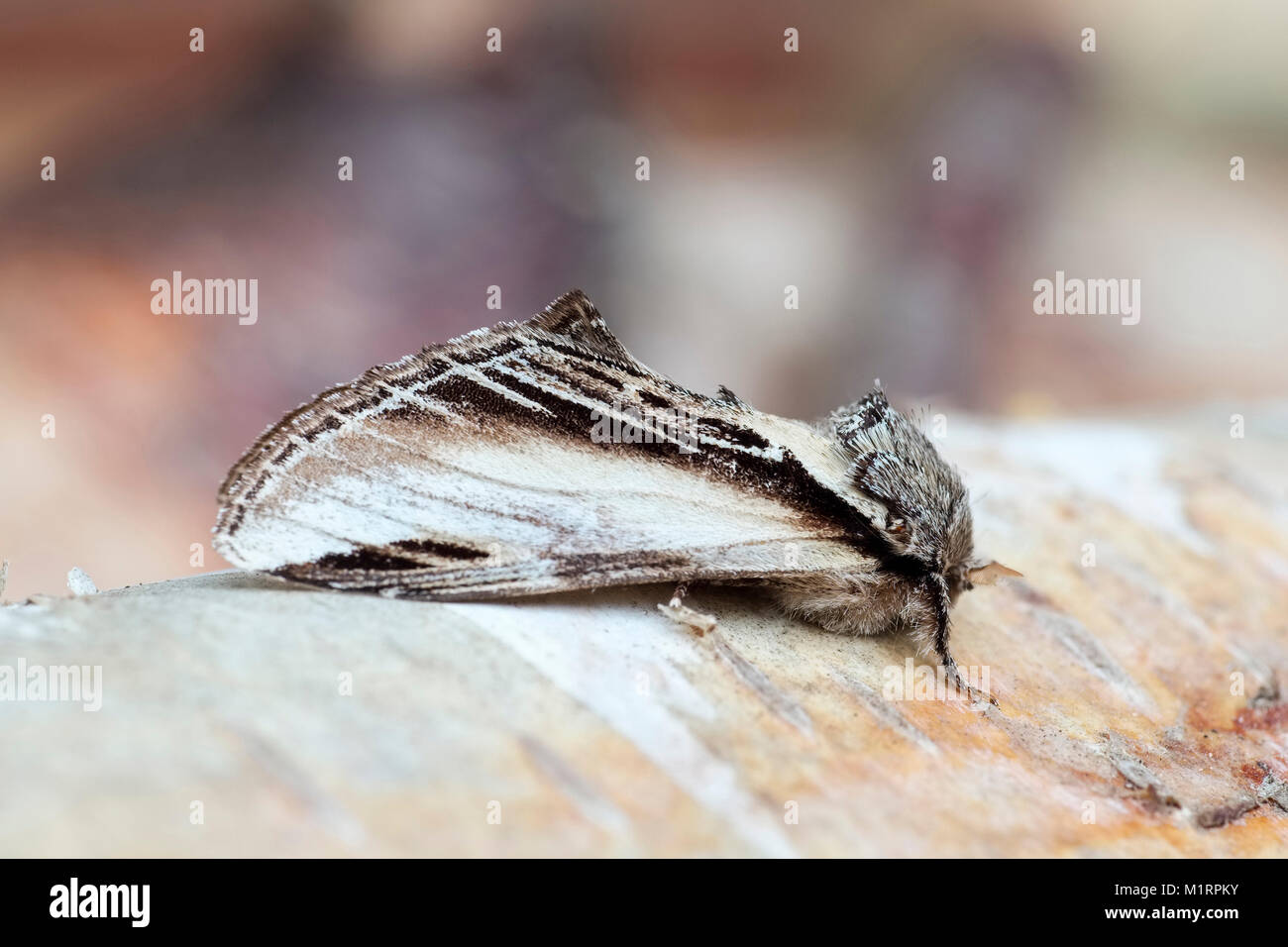 Swallow Prominent Moth resting on birch branch - Pheosia tremula - Stock Image